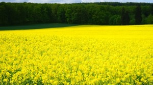 Biodiesel - Oilseed rape