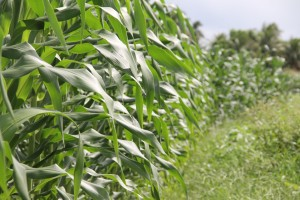 Biofuels - Corn - Food or fuel