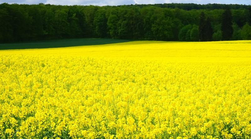 Biodiesel - Oilseed rape